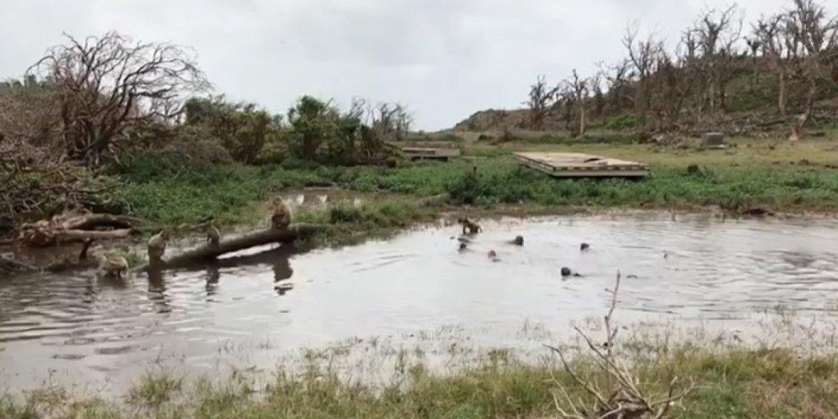 Monos de Cayo Santiago se divierten tras intensas lluvias por onda tropical