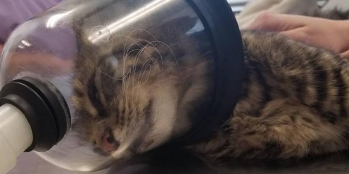 """""""No tenemos palabras para tanta crueldad"""": gatita sufrió brutal agresión luego que explotaran fuegos artificiales en su recto"""