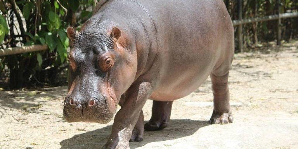 ¡Fiesta en el Zoológico! Jakira, la hipopótama, cumple cuatro años