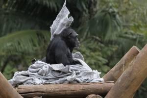 chimpanzé zoo zoológico de são paulo
