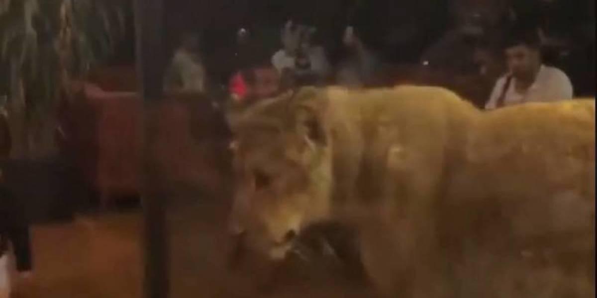 """""""Liberemos a Khalessi"""": Indignación  por una leona viva encerrada en una vitrina de un bar en Estambul"""
