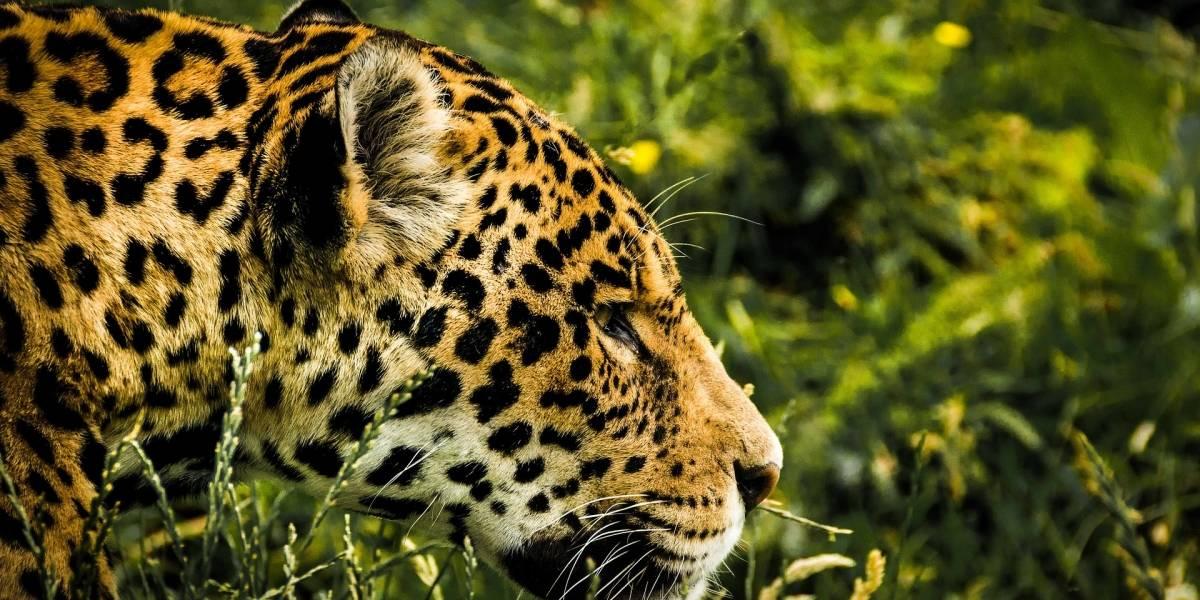 Escapa jaguar de zoológico frente a visitantes y mata a 6 animales