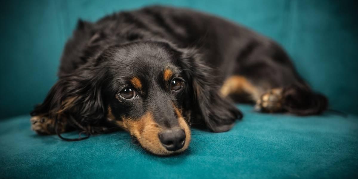 ¿Qué debo hacer cuando mi perra entra en celo?