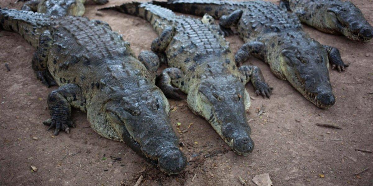 Aldeanos matan casi 300 cocodrilos por venganza, en Indonesia