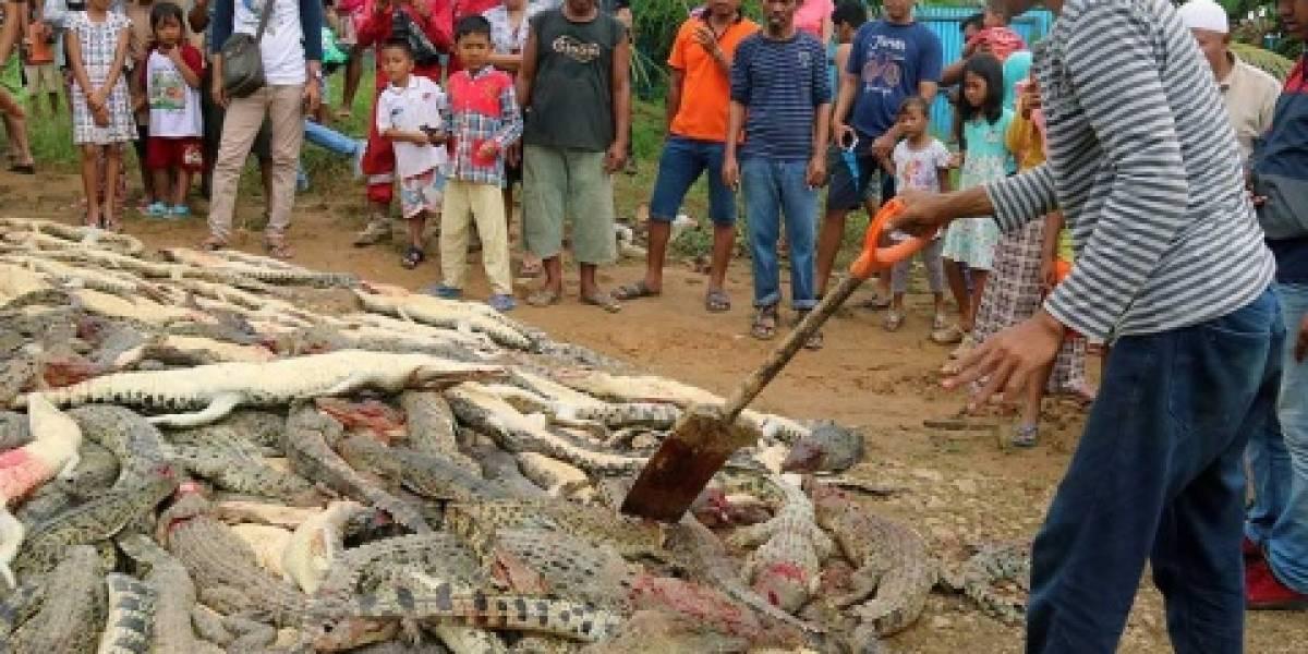 Sacrifican a 292 cocodrilos para vengar a su vecino