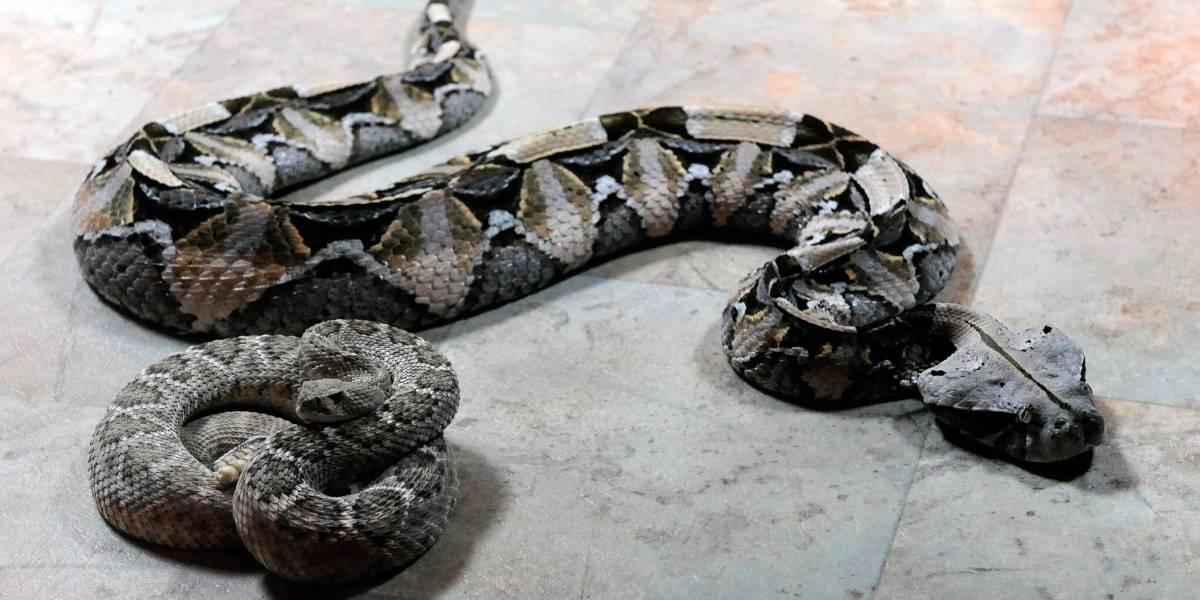 Homem decapita cascavel, mas cabeça da cobra quase o mata