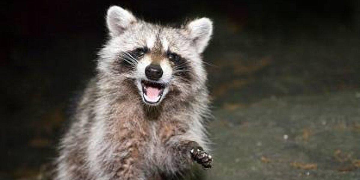 """El misterio de los mapaches """"zombies"""" que invaden el Central Park de Nueva York"""