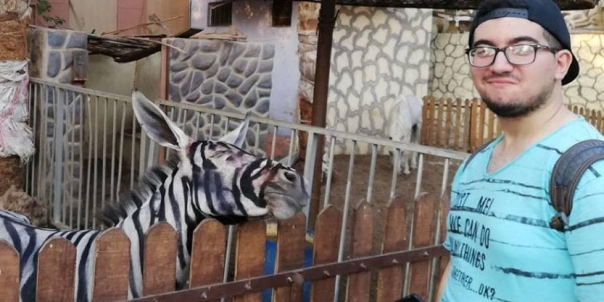 Zoológico pinta rayas negras en el pelaje de grupo de burros y los hace pasar como cebras hasta que pasa lo inesperado