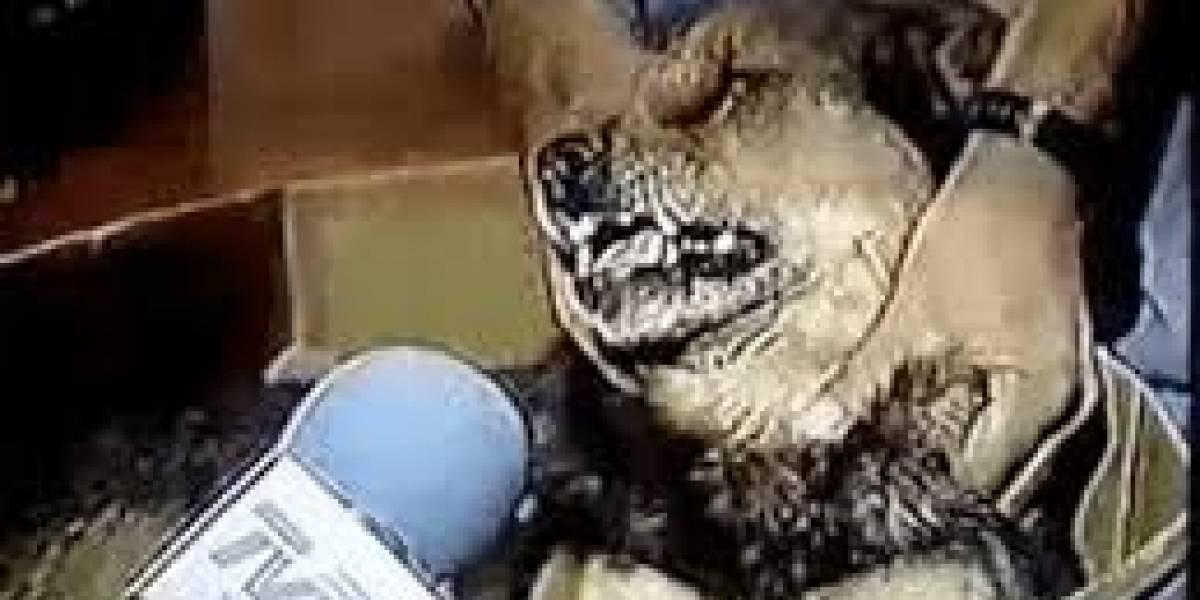 ¿Mejor que el perro que habla chileno?: can interpreta famosa canción de Britney Spears y se convierte en viral
