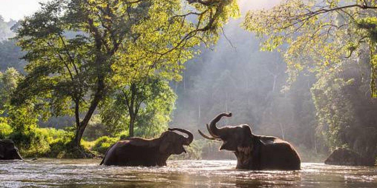 Una razón más para amar a los elefantes: científicos descubren que ellos siembran árboles