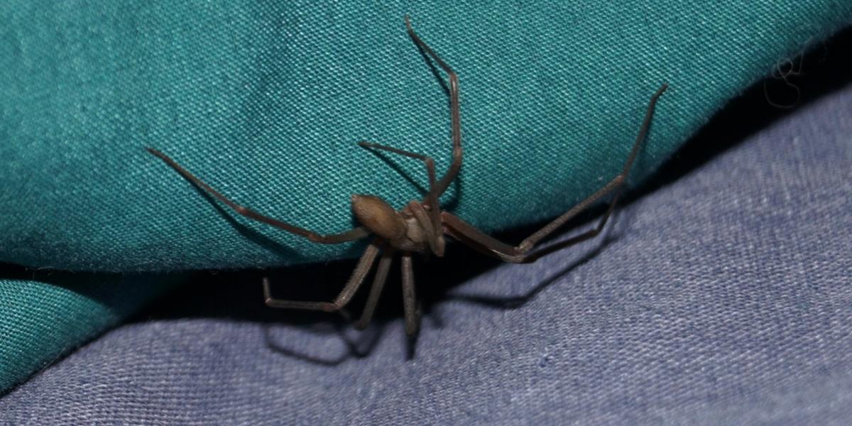 Conoce los daños a la salud provocados por la mordedura de una araña violinista