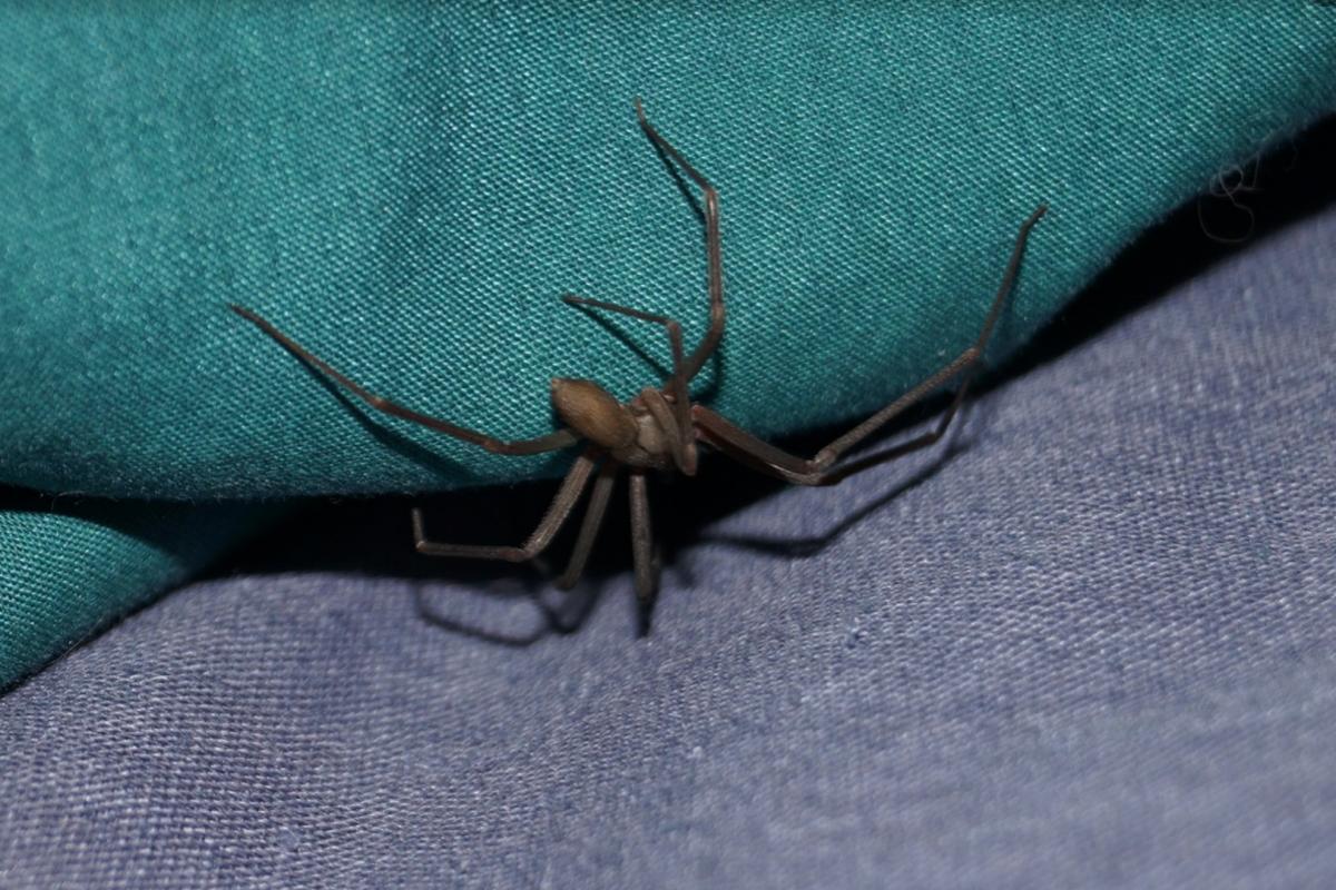 arañas que crecen en el cuerpo humano