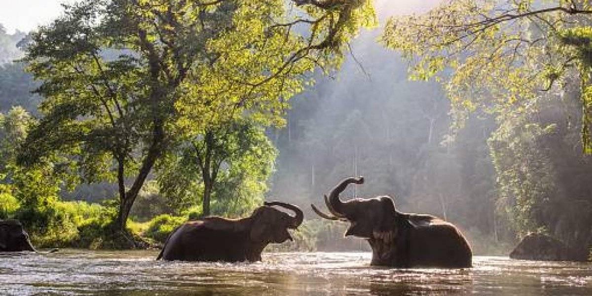 Científicos descubren que los elefantes siembran árboles