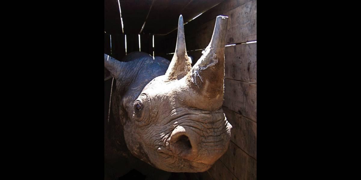 Muere el último rinoceronte negro en traslado fallido
