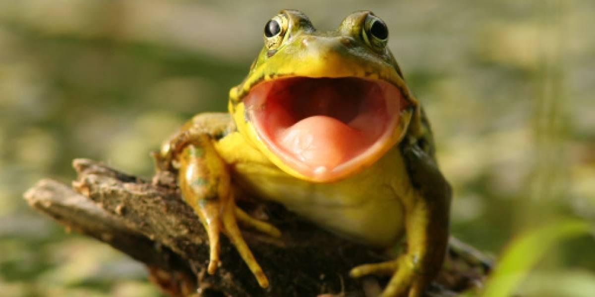 Si creías que has visto todo, conoce a la rana que croa como cabra en Colombia