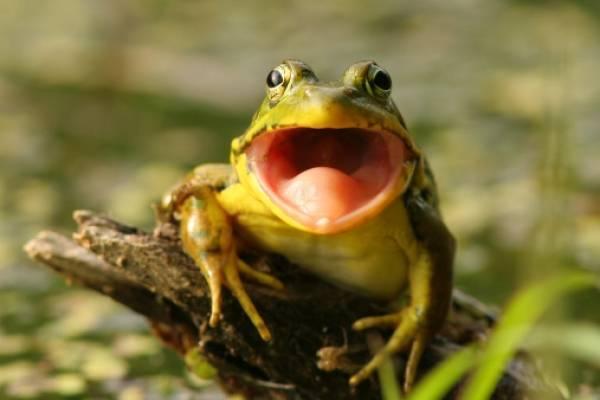 Científicos colombianos descubren una rana que croa como cabra