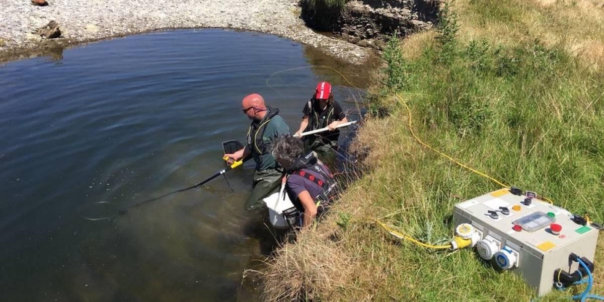 Em seca sem precedentes no Reino Unido, ambientalistas usam choques para resgatar peixes encalhados