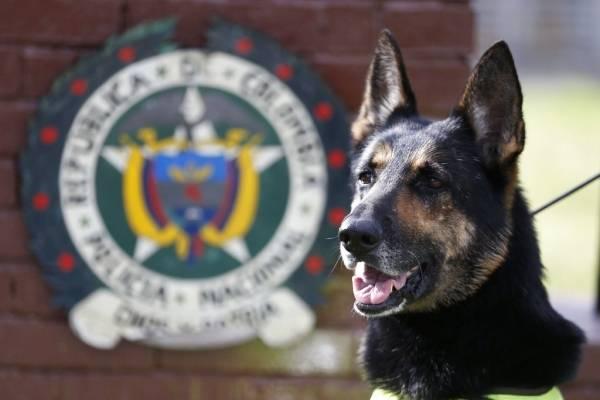 Esta perrita, una pastor alemán de seis años, ha participado en decenas de operaciones de rastreo en varios aeropuertos colombianos. Sombra provocó un duro golpe en las finanzas del
