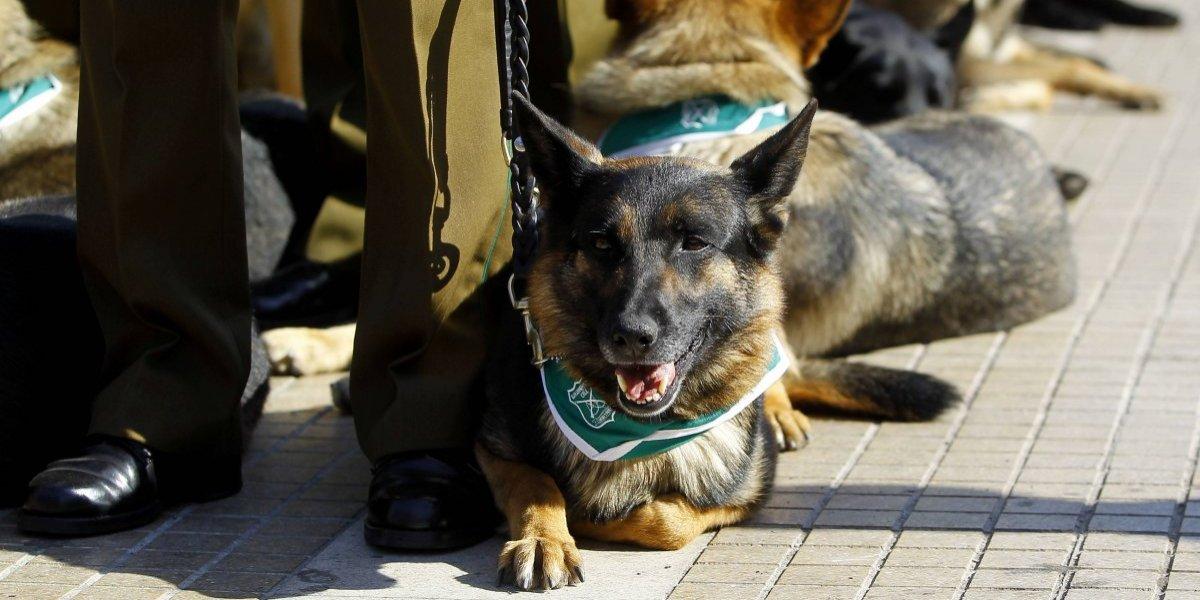 Policías españoles entrenan a perros para detectar el cáncer de próstata con el olfato
