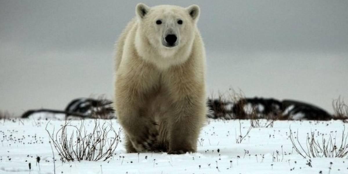 Matan a oso polar que atacó a guardián en Noruega