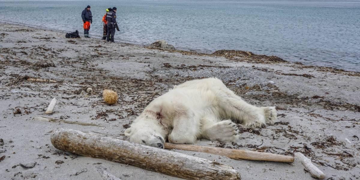 Indigna muerte de un oso polar que atacó a guía de crucero