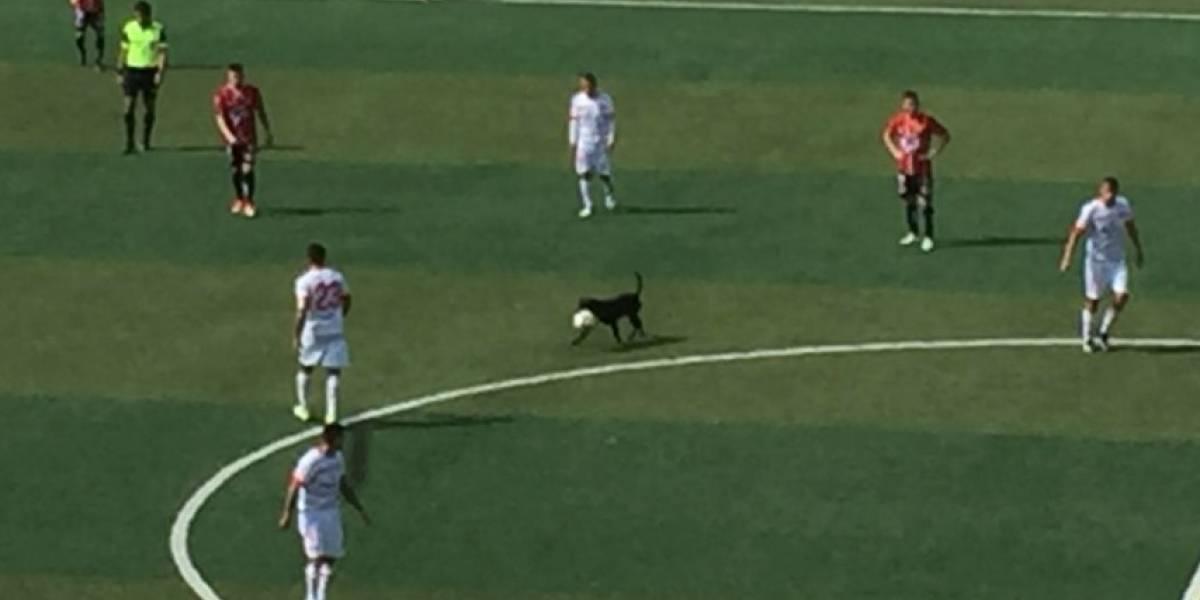 """La figura de la fecha: perro entra a la cancha y la """"rompió"""" en partido de Copiapó ante Rangers y en redes sociales"""