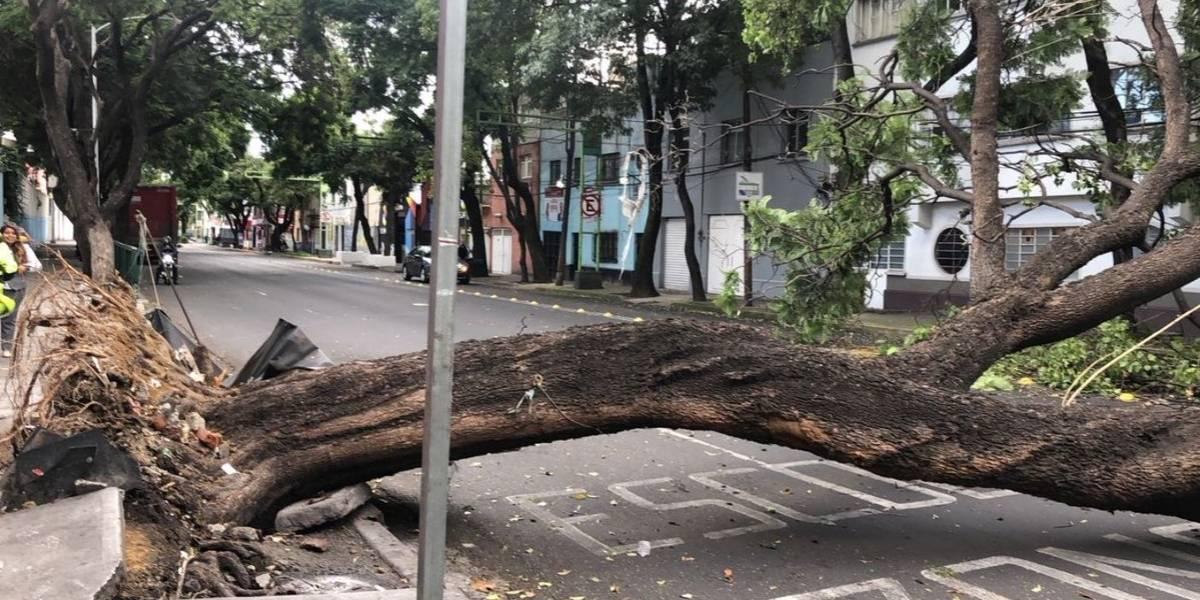 Jacaranda de 25 metros de altura cae en calle de la Cuauhtémoc