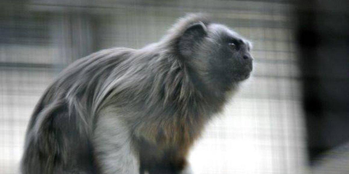 Liberaron cuatro monos Tití Gris en el campus de la Universidad de Antioquia