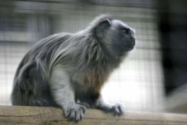 Monos Tití gris