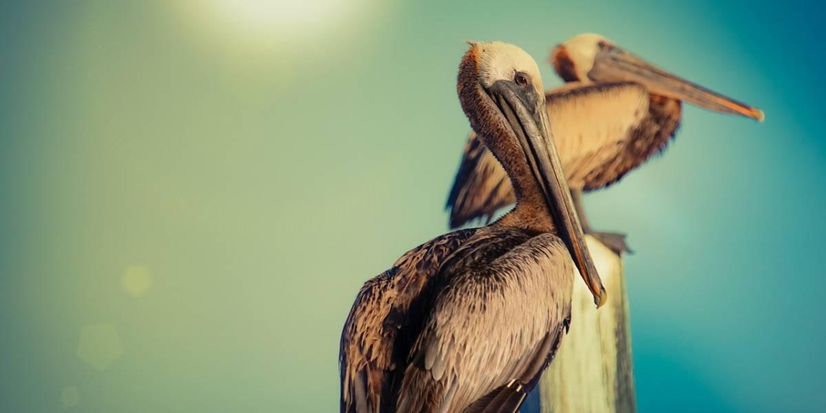 México: El calor se ha vuelto tan intenso que pelícanos han comenzado a caer en medio vuelo