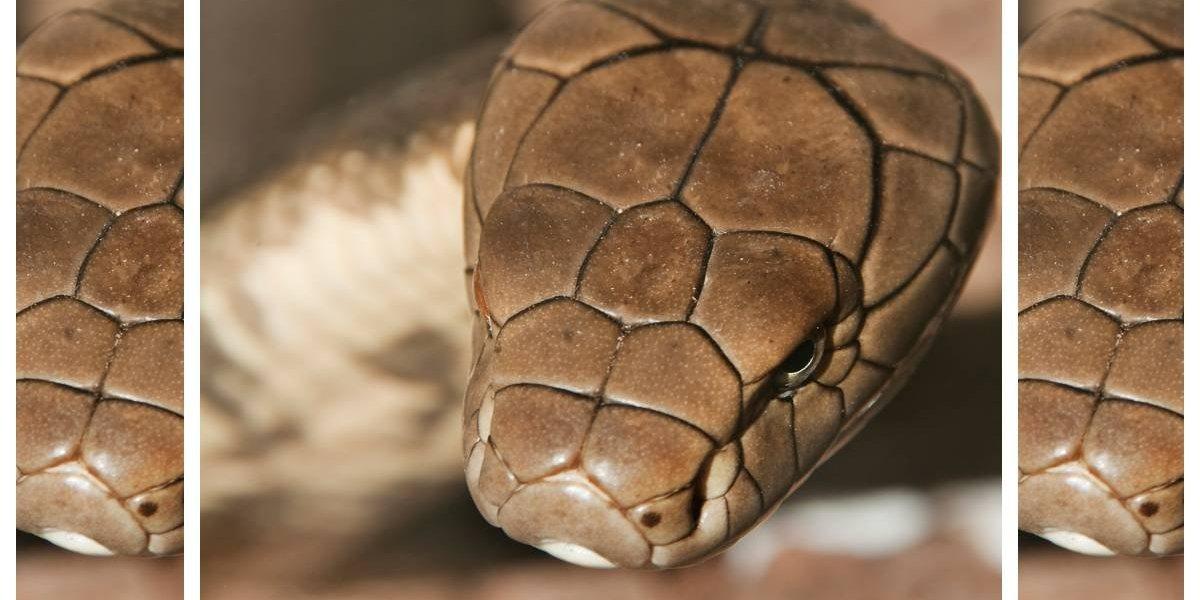 ¿Buena suerte, mala suerte o milagro? Niño de 6 años fue mordido por serpientes venenosas dos veces en sólo 8 días y sobrevivió