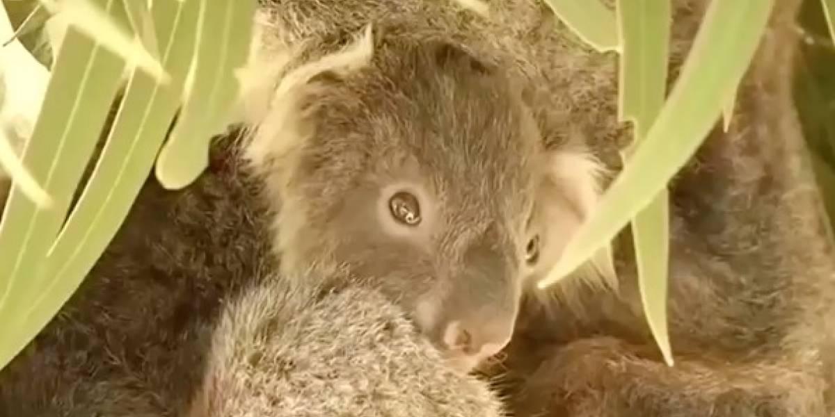 A Bosé no se le acaban las ideas: ahora un koala es el que llama desesperadamente a Michelle Bachelet