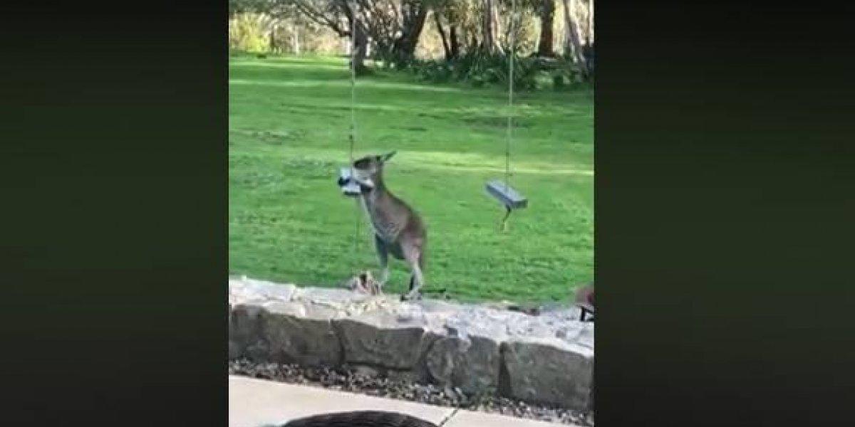 Australiana flagra canguru brincando com balanço em sua casa