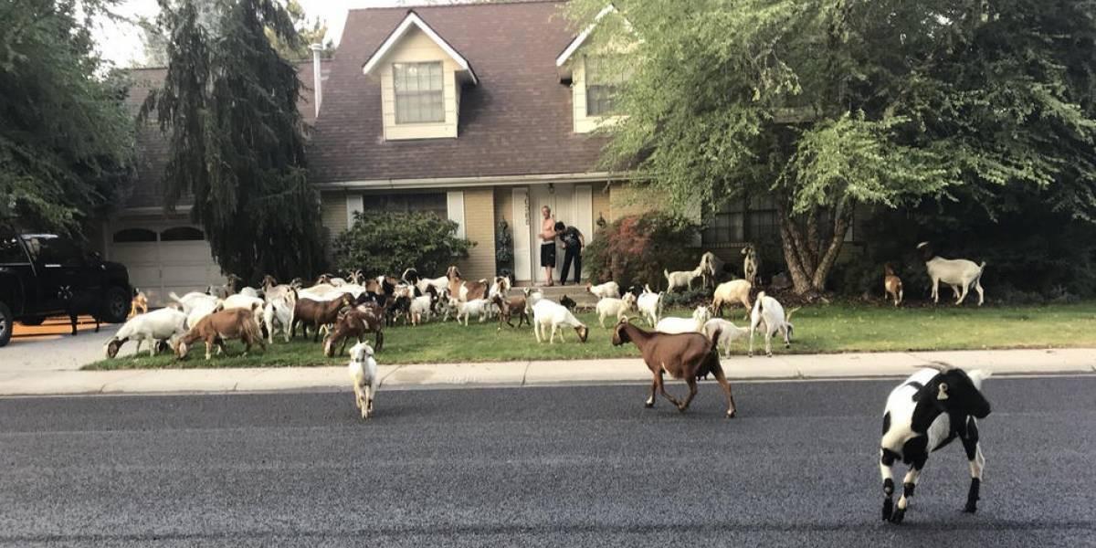 """""""Van de casa en casa comiendo todo lo que encuentran"""": Aparecieron unas 100 cabras en un vecindario y nadie sabe de dónde vienen"""