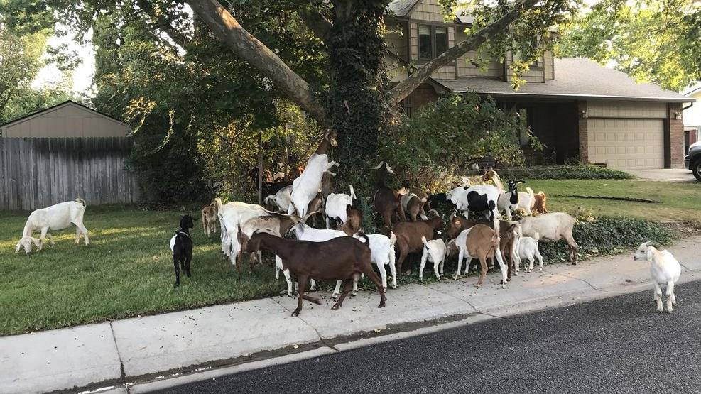 El periodista Joe Parris twitteó estas fotos el viernes por la mañana de lo que dijo que eran unas 100 cabras corriendo desenfrenadamente en Boise, Idaho.