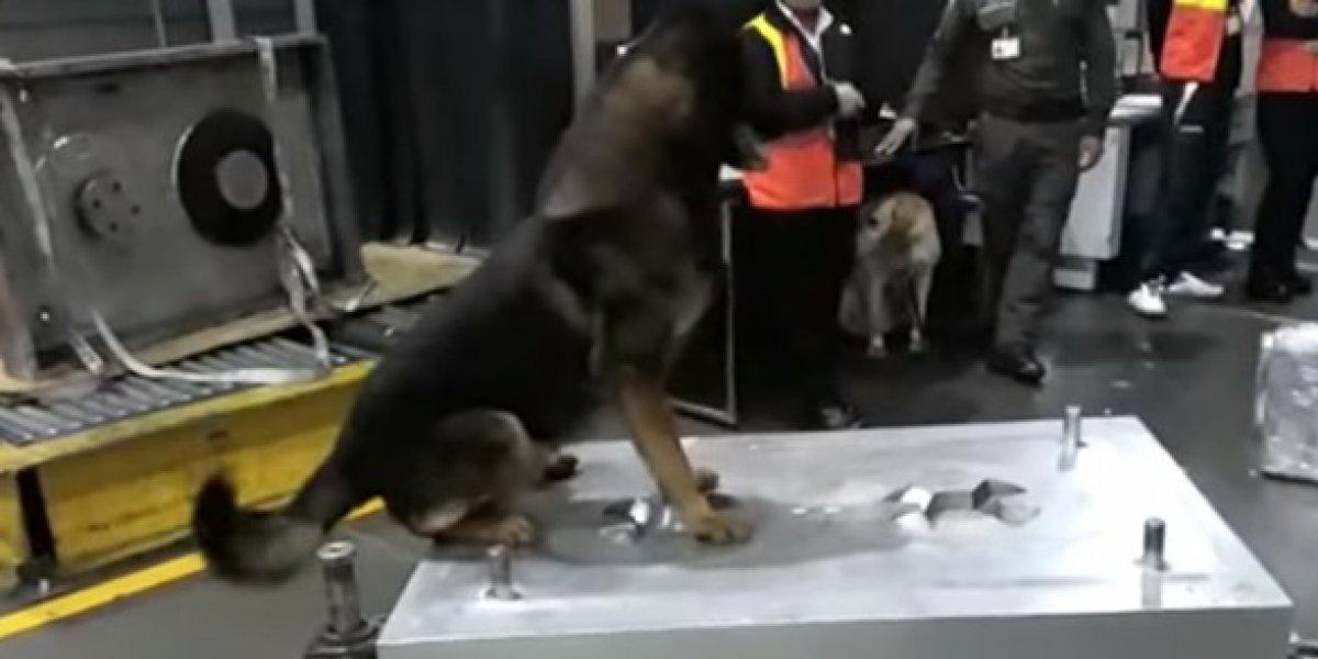 Sombra, la perra de antinarcóticos que tiene en jaque a los narcotraficantes