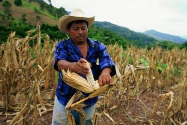 Campesinos han perdido sus cultivos por la falta de agua.