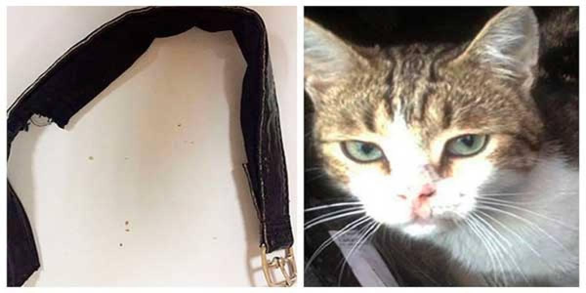 Detienen a gato 'narco' por meter droga a una cárcel