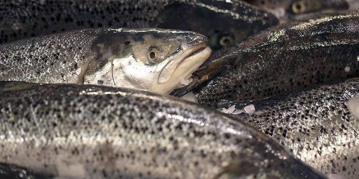 """Greenpeace alerta sobre la llegada de """"salmones zombie"""" a Tierra del Fuego"""