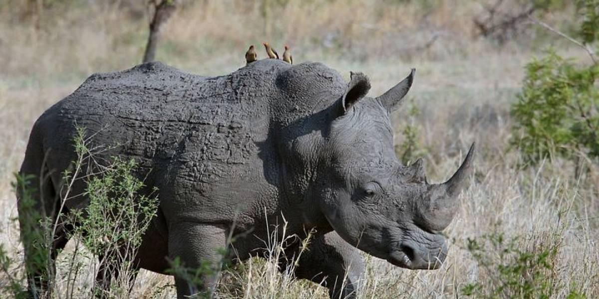 Rinoceronte embistió un auto en Africam Safari de México y quedó grabado en video