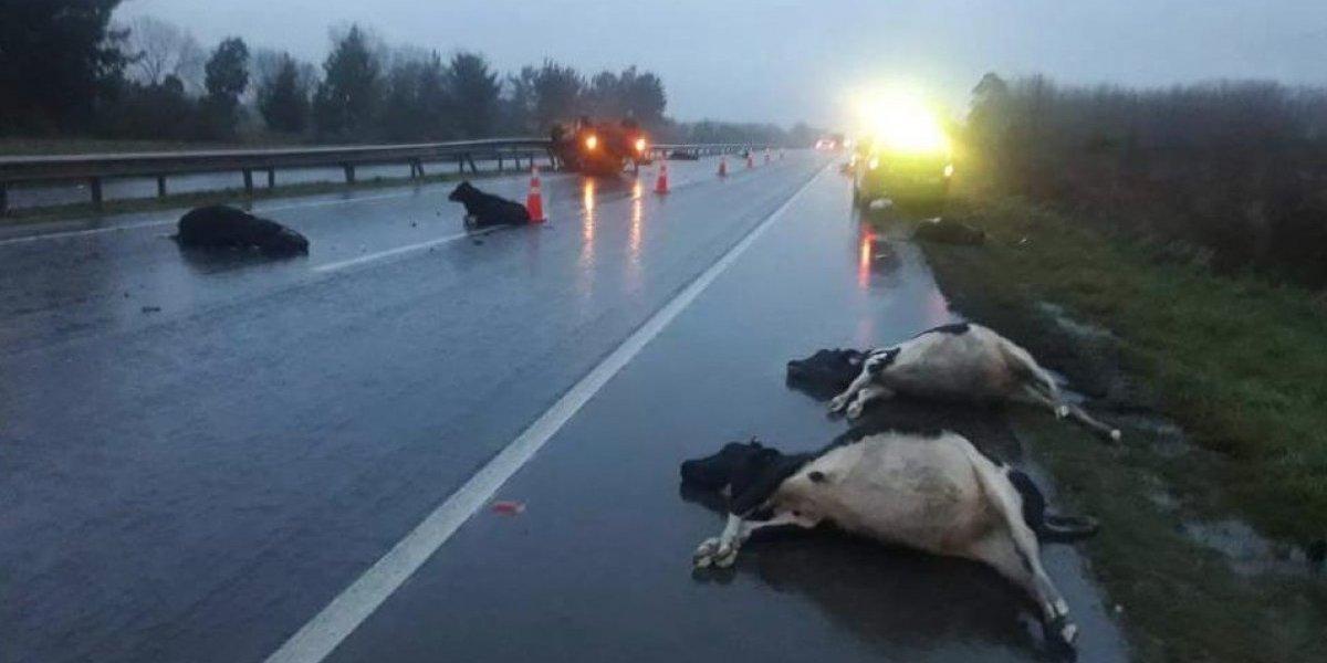 Frutillar: el triste accidente que terminó con una camioneta volcada y una decenas de vacas tiradas en la carretera