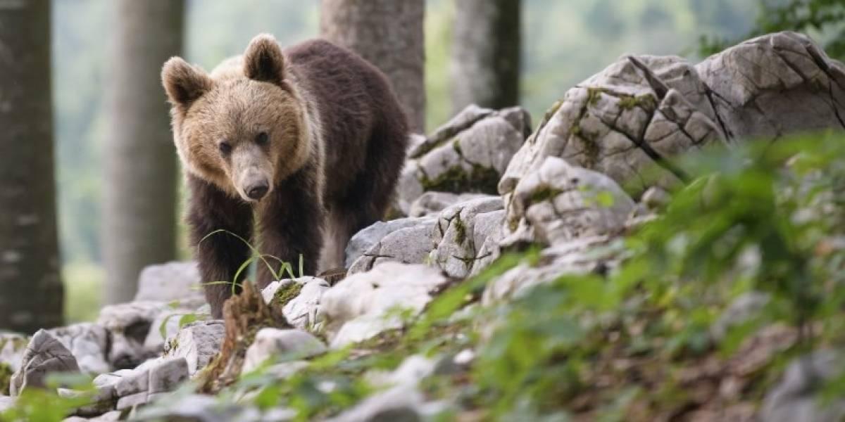 EN IMÁGENES. Los eslovenos están dejando de cazar osos y empiezan a convivir con ellos