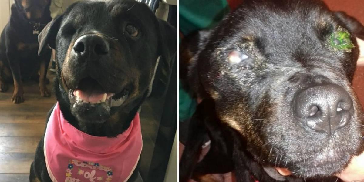 Jovem é proibida de ter cachorro após rottweiller vítima de maus-tratos perder olho