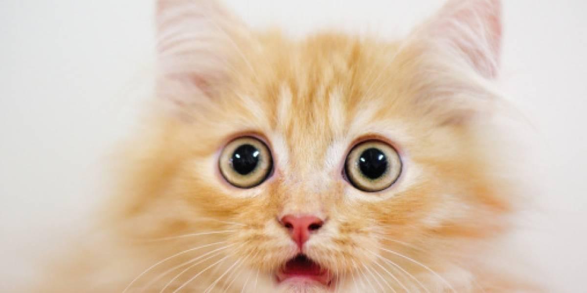 En el día internacional del gato: científicos confirman que ver videos de gatitos es bueno para la salud