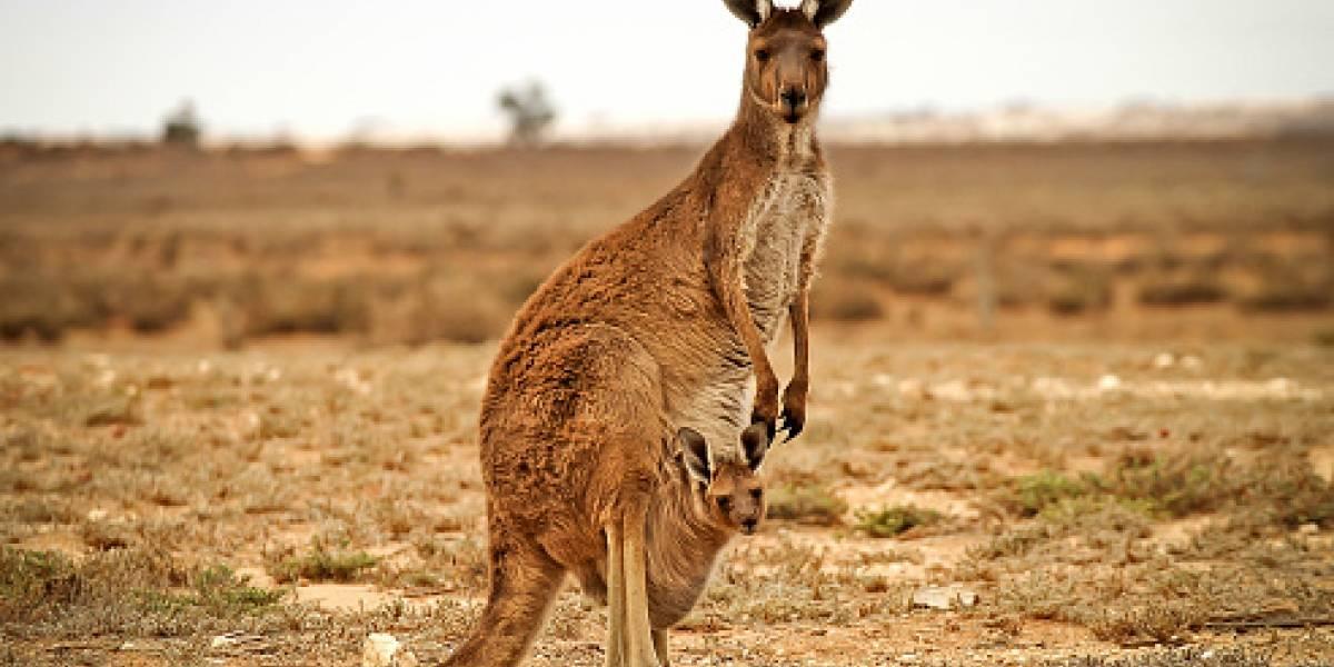 La polémica medida australiana para enfrentar la sequía: autorizan caza indiscriminada de canguros