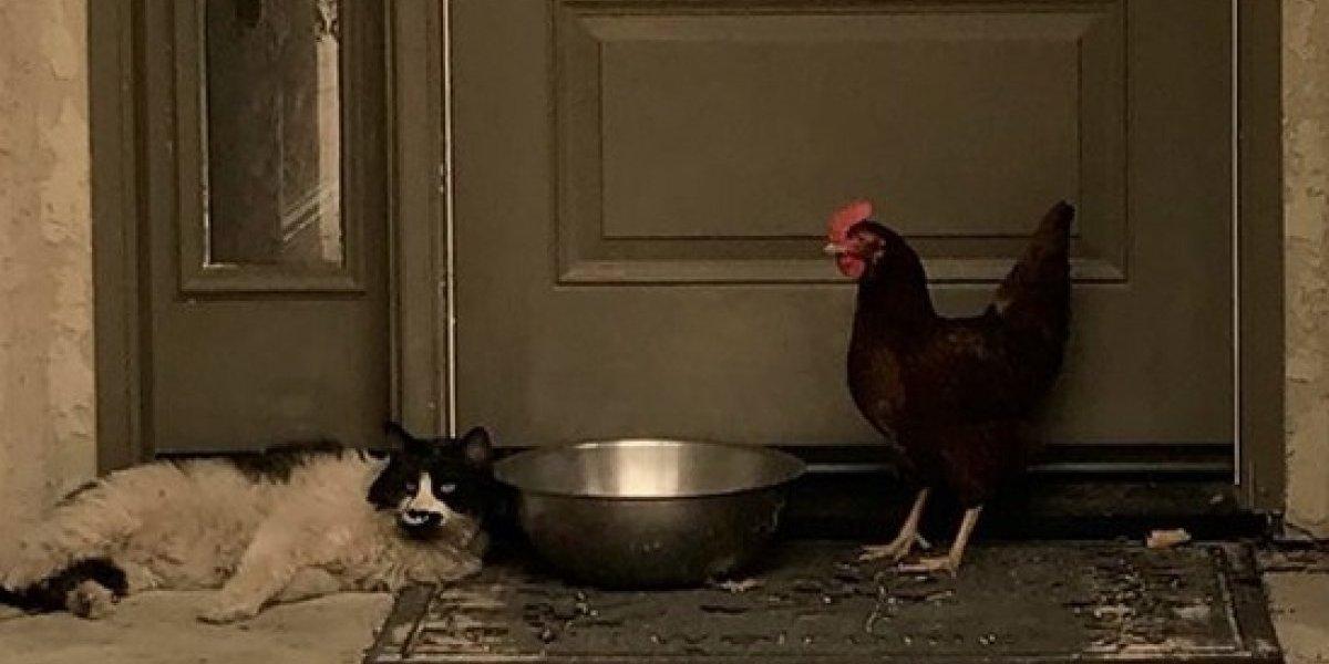 """La esperanzadora historia en medio de los incendios forestales de California: gatito y gallina sobreviven a la tragedia """"acurrucados"""""""