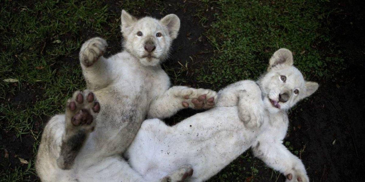 Tlaxcala tiene dos nuevos cachorros de león blanco