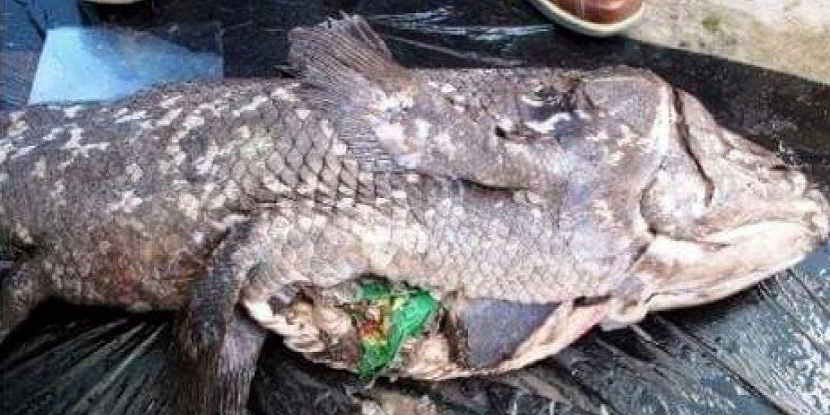 Sobrevivió a dinosaurios, tiene millones de años, pero morirá por culpa nuestra: las crudas fotos de pez aniquilado por bolsa de papas fritas