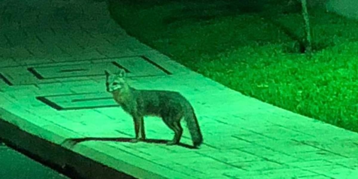 Un zorro gris hizo una visita inusual en condominio de zona 16