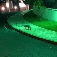 zorro gris en zona 16